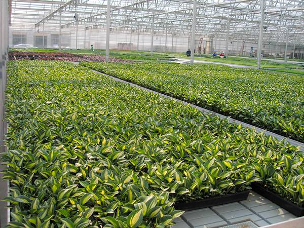 There are a lot of Golden Hahnii plants on the ebb and flow greenhouse benches.