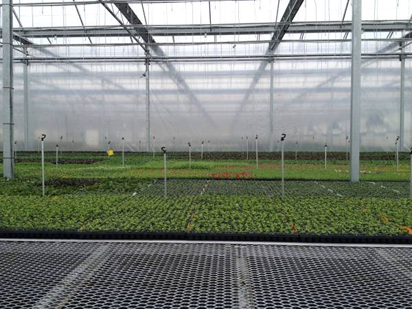 There are many tray cultivated seedlings on the expanded metal benches.
