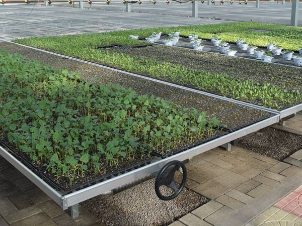 There are many tray cultivated seedlings on the rolling benches.