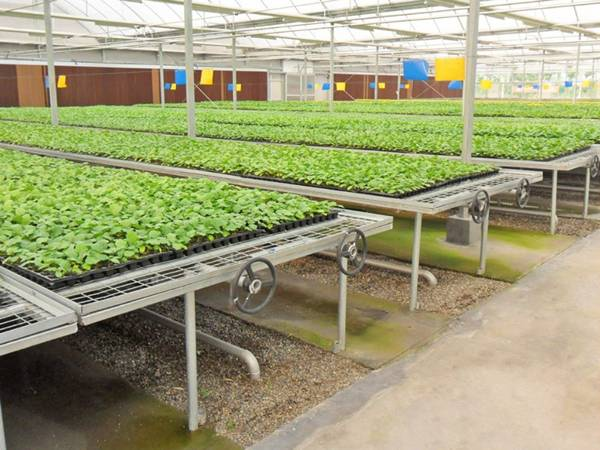 The commercial greenhouse is installed with rolling benches.