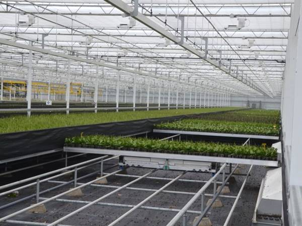 The commercial greenhouse is installed with shuttle rolling bench.