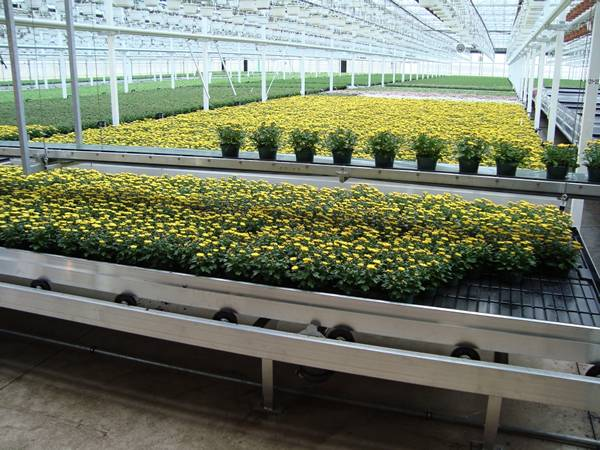 The flos chrysanthemi production base is installed with shuttle rolling bench.
