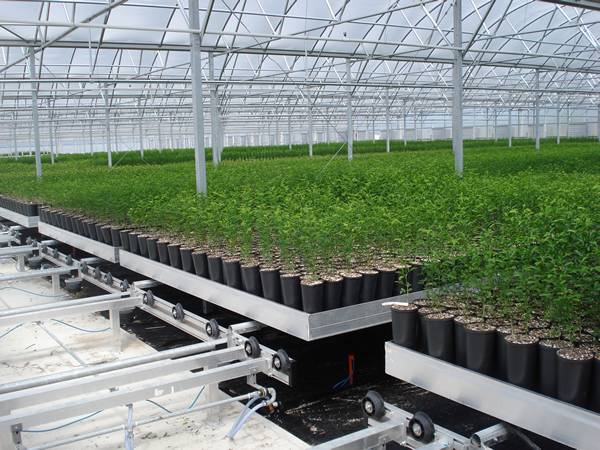 The potted seedlings are cultivated on the shuttle rolling bench system.