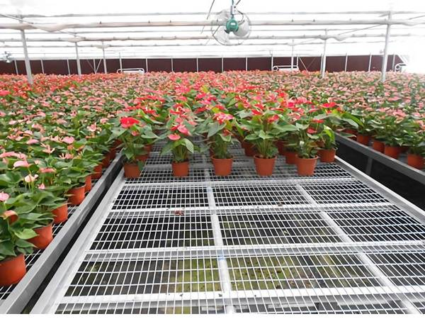 Stationary benches are installed for potted anthurium cultivation.