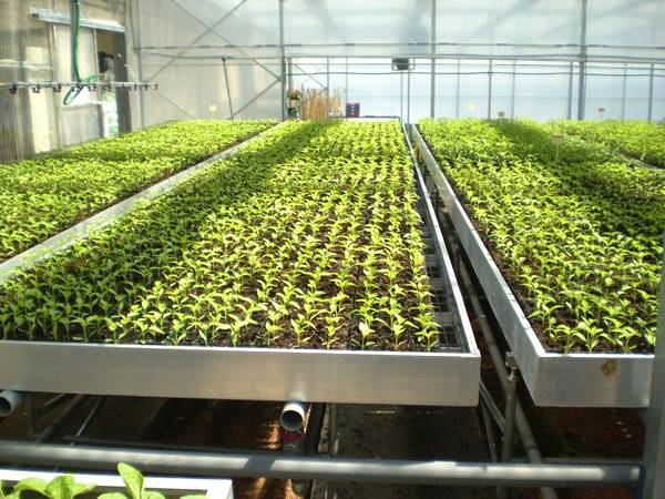 There are a lot of green tray cultivated seedlings on the stationary benches.
